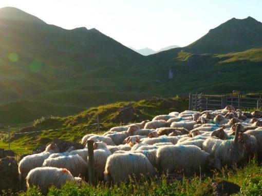 GAEC de l'Aouda, de la bergerie à l'estive